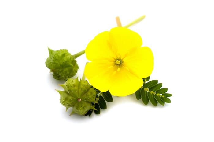Bulgarischer Bergtee - Der Erd Burzeldorn Bergtee / Organischer Tee von Erd-Burzeldorn (lat. Tribulus terrestris) (Бабини зъби/Babini zubi auf bulgarisch genannt) – Der Erd-Burzeldorn wird auch Erdsternchen genannt. Es gibt viele Geschichten über den Namen dieser Pflanze aber viel wichtiger ist, dass sie eine heilende Wirkung hat.