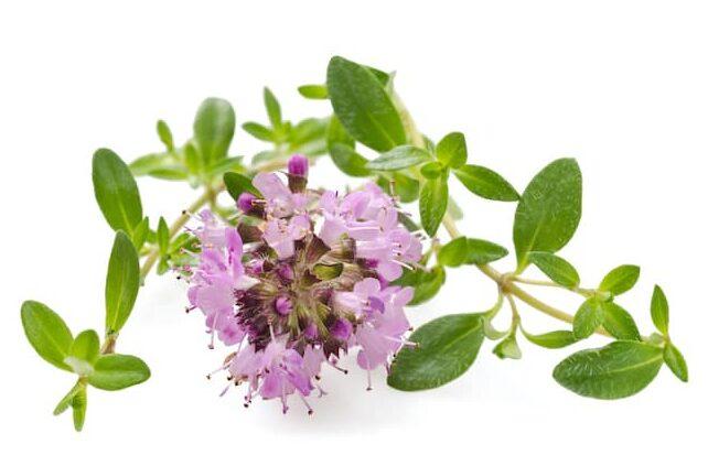 Bulgarischer Bergtee - Thymian Bergtee / Organischer Tee von Thymian (lat. Thymus vulgaris) (Мащерка/Maschterka auf bulgarisch genannt) – Der Thymian ist einer der bekanntesten und meist verbreiteten Kräuter in Bulgarien. Das ist der Tatsache zu verdanken, dass es über 350 verschiedene Sorten dieser Heilpflanze gibt.