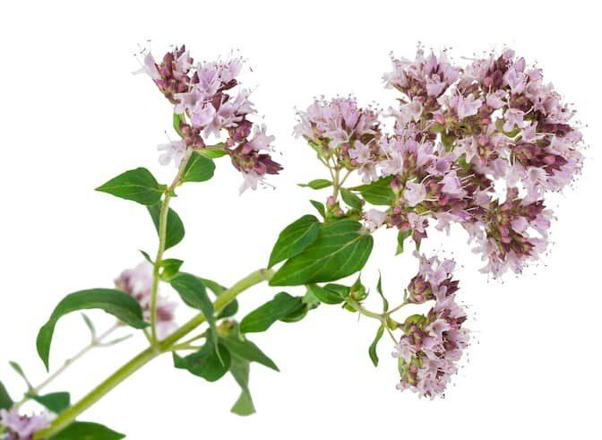 Bulgarischer Bergtee - Wilder Dost / Organischer Tee von wildem Dost – (lat. Origanum vulgare) (Червен риган/cherven rigan auf bulgarisch genannt). Der Wilde Dost ist bekannt als Balkan- oder Waldtee und ist in Bulgarien sehr verbreitet.