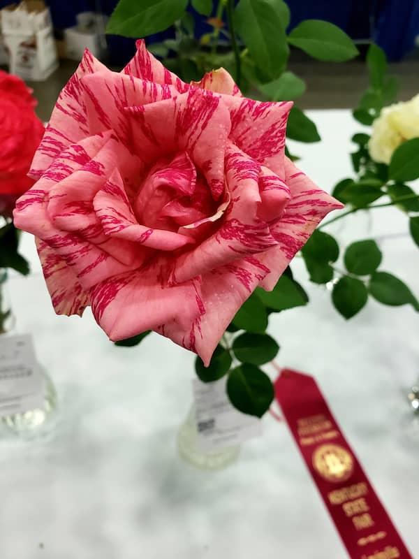 """bulgarische Rose 4 Ohne Zweifel hat sich die bulgarische Rosenpflanze als """"Königin der Blumen"""" aber auch als Heilpflanze bewährt."""