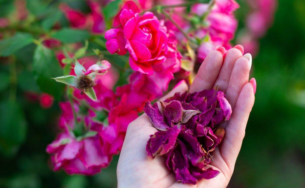 bulgarische Rose 0 (Rosa damascena/Damaszener Rose) Bulgarien ist der weltgrößte Erzeuger von Rosenöl, es liefert 70 % der Weltproduktion an Rosenöl.