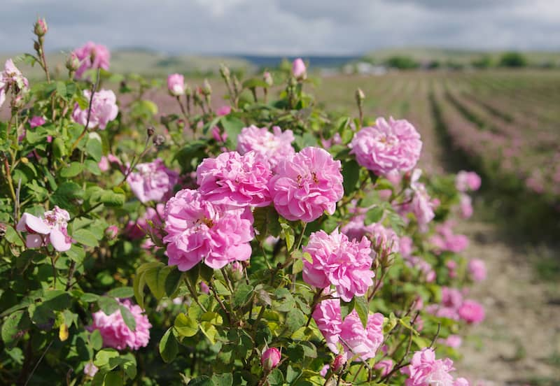 bulgarische Rose 1 Geschichte der bulgarischen Rose - ein duftiger Goldschatz aus der Natur Bulgariens